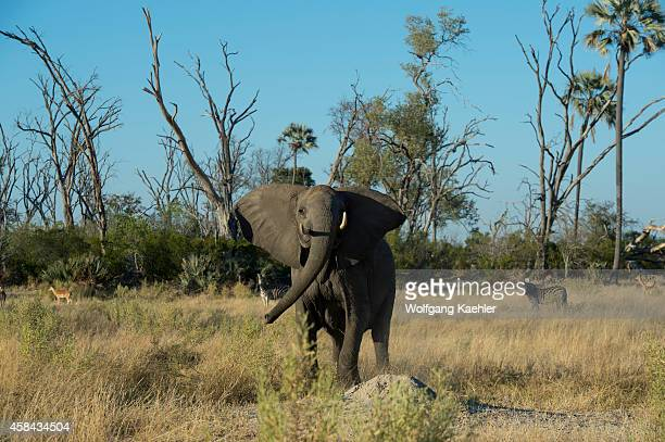 Female African elephant charging in the Chitabe area of the Okavango Delta in the northern part of Botswana
