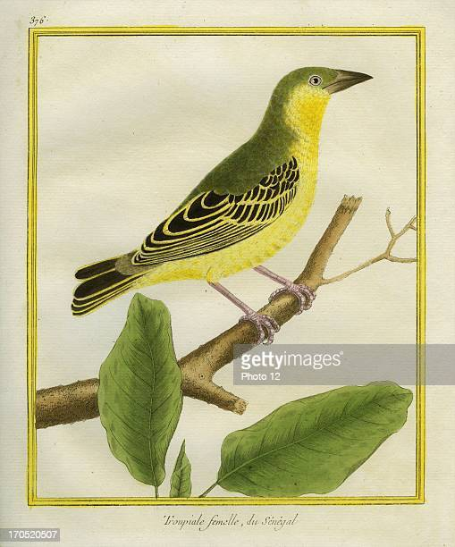 Female African Golden Oriole Oriolus auratusFemale African Golden OrioleGeorgesLouis Leclerc Comte of Buffon Natural History of birds fish insects...