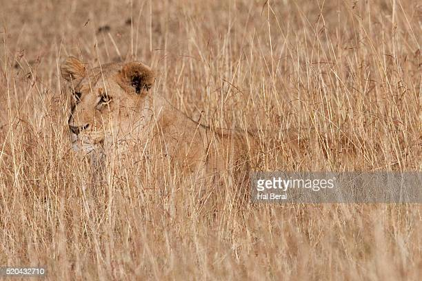 Female African Lion blends into the tall grass as she hunts (Panthera leo) Serengeti Natonal Park, Tanzania