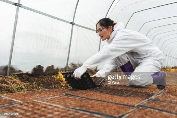 female agricultural engineer holding nursery tray in the greenhouse - membrane stock photos and pictures