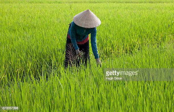 female agricultural worker in rice field. vietnam - hugh sitton stock pictures, royalty-free photos & images