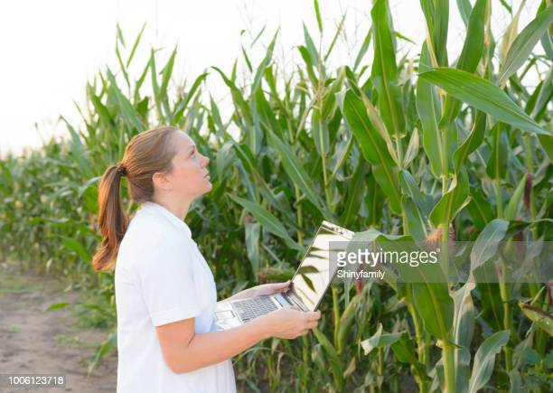 female agronomist inspecting corn cob in corn field - agronomist stock pictures, royalty-free photos & images