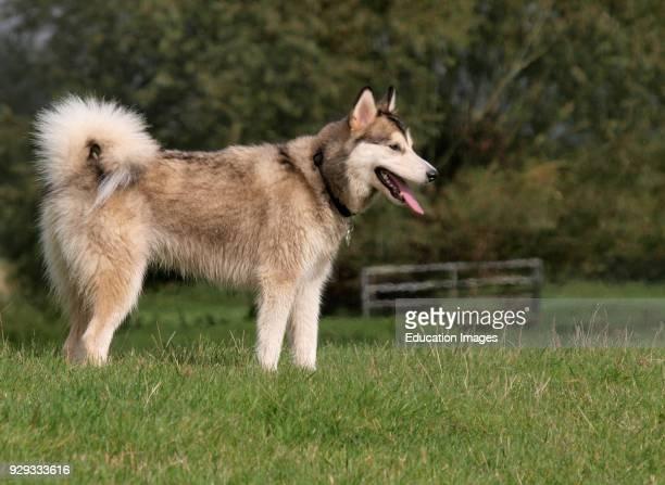 Female Alaskan Malamute dog, UK.