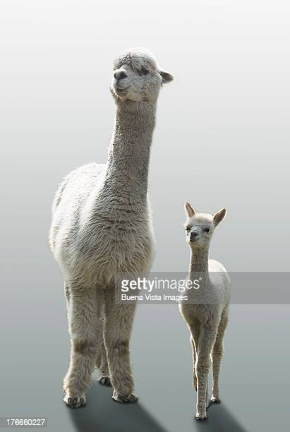 female alpaca with her one month old cub - lama stock pictures, royalty-free photos & images