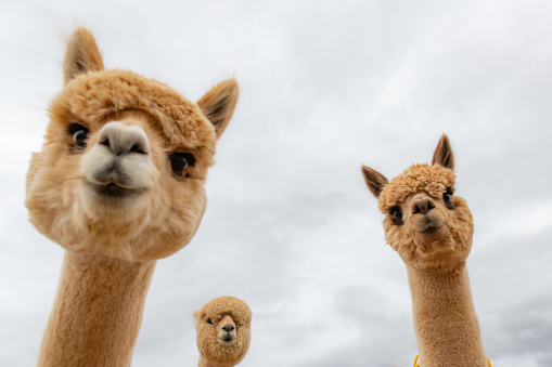 Female alpacas on a farm in Central Oregon 1084222130