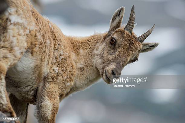 Female Alpine Ibex -Capra ibex-, Graubuenden, Switzerland