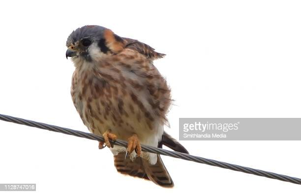 female american kestral on a wire - falco sparverius - chicken hawk stock pictures, royalty-free photos & images
