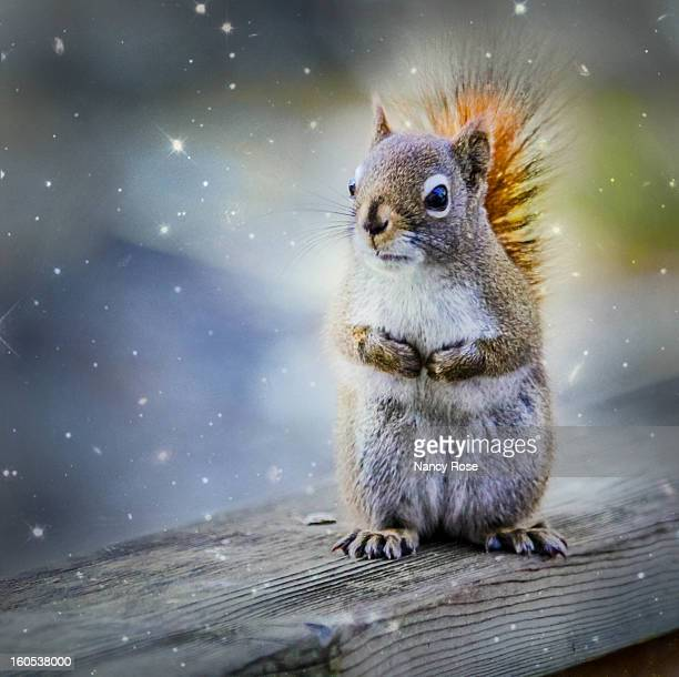 female american red squirrel - american red squirrel stock photos and pictures