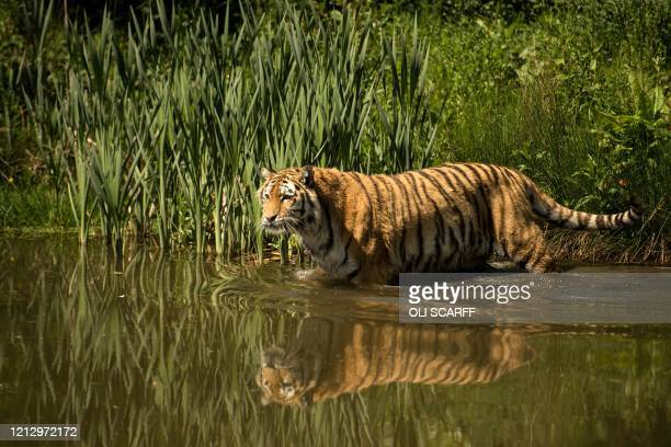 Female Amur tiger re-enters its enclosure searching for meat that was placed by animal keepers at Knowsley Safari, near Liverpool, northern England...
