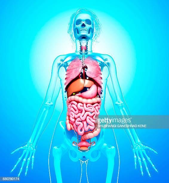 female anatomy, computer artwork. - intestino humano fotografías e imágenes de stock