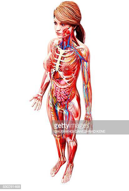Female Urinary System Stock Photos and Pictures | Getty Images