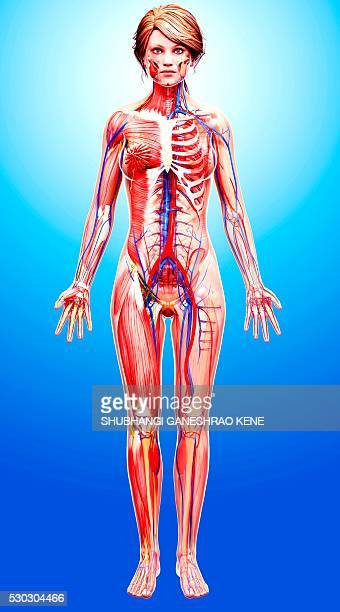 female anatomy, computer artwork. - female anatomy stock pictures, royalty-free photos & images