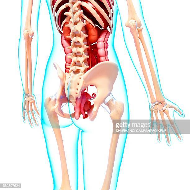 Female Urinary System Stock Photos And Pictures Getty Images