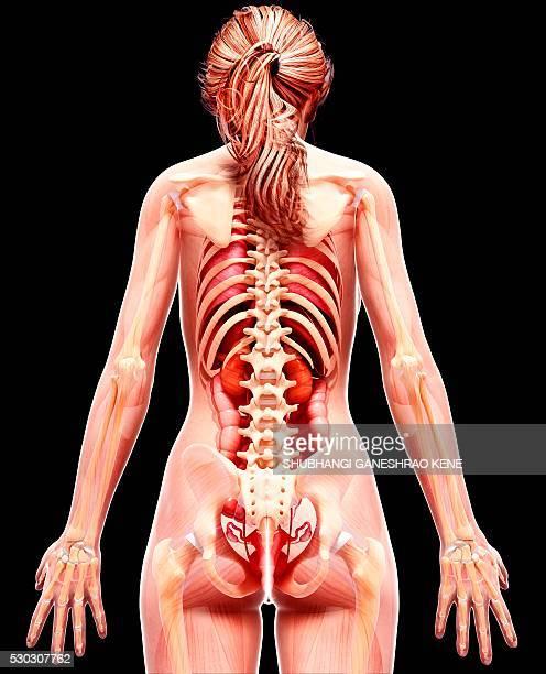 female anatomy, computer artwork. - intestino umano foto e immagini stock
