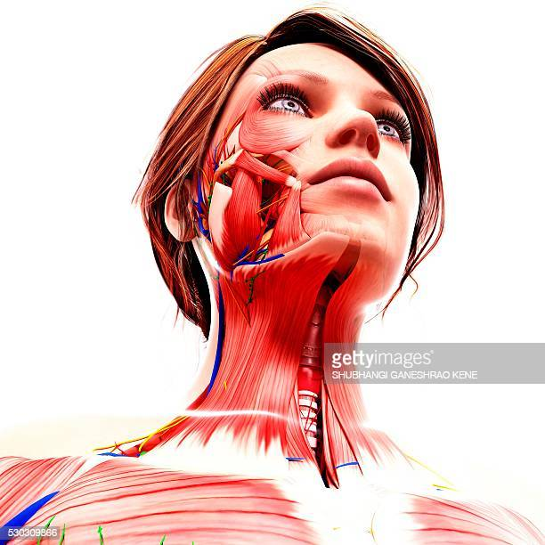 Masseter Muscle Stock Photos And Pictures