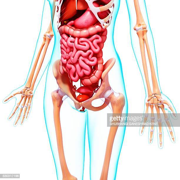 Female Anatomy Bladder Stock Photos And Pictures