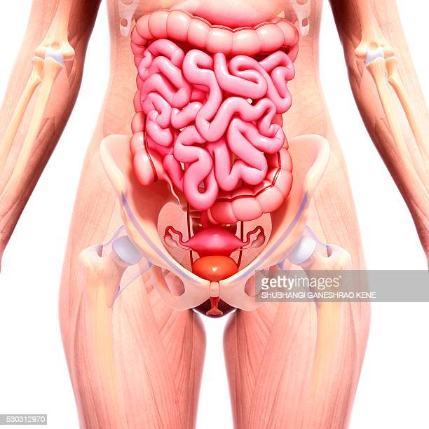 female anatomy, computer artwork. - human intestine stock photos and pictures