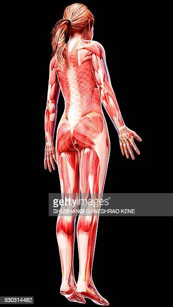 female anatomy, computer artwork. - gastrocnemius stock pictures, royalty-free photos & images