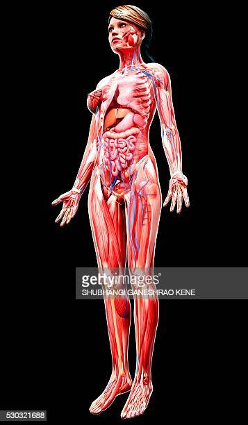 female anatomy, computer artwork. - human artery stock photos and pictures