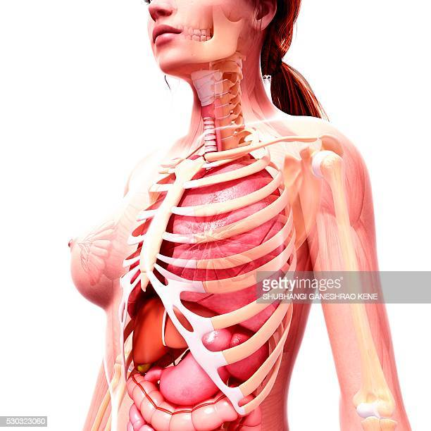 Female Chest Anatomy Stock Photos And Pictures Getty Images