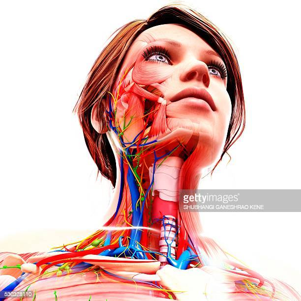 female anatomy, computer artwork. - thyroid gland stock pictures, royalty-free photos & images