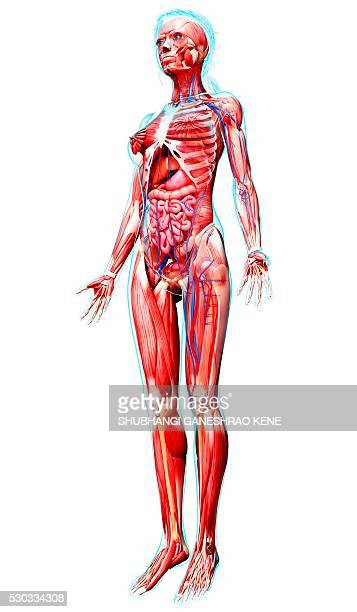 female anatomy, computer artwork. - cardiovascular system stock photos and pictures