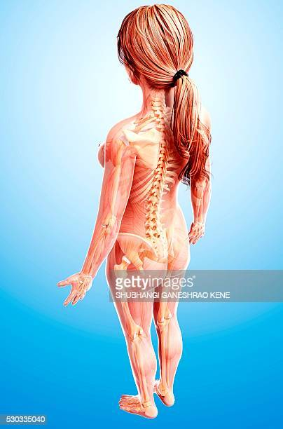 Female Anatomy Back Stock Photos And Pictures Getty Images
