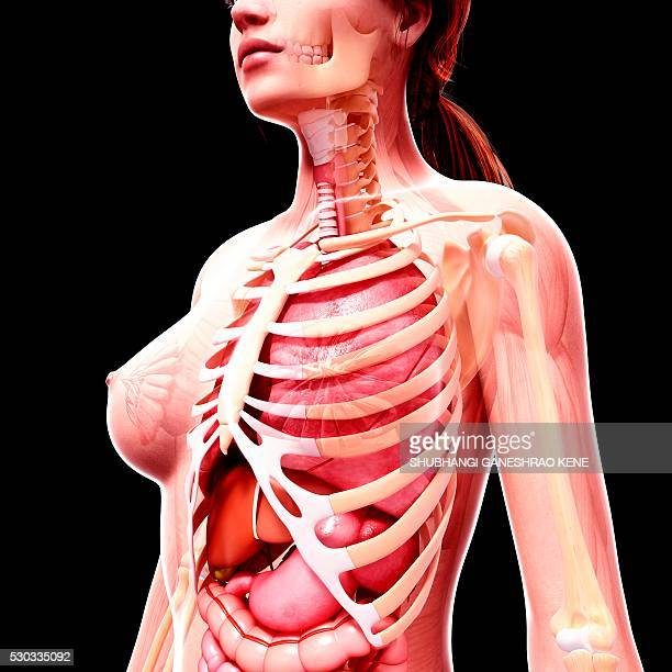 Female Stomach Anatomy Stock Photos And Pictures Getty Images