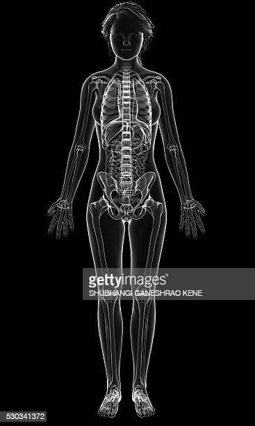 female anatomy, computer artwork. - female likeness stock pictures, royalty-free photos & images