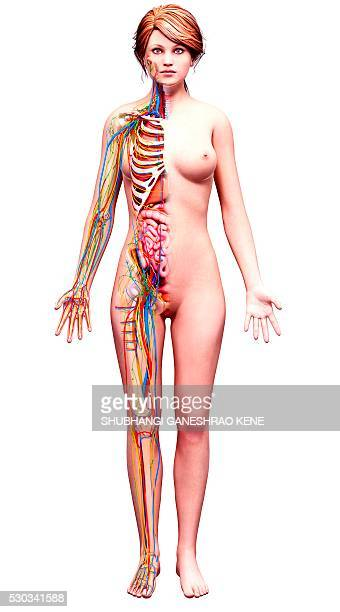 female anatomy, computer artwork. - female anatomy stock photos and pictures