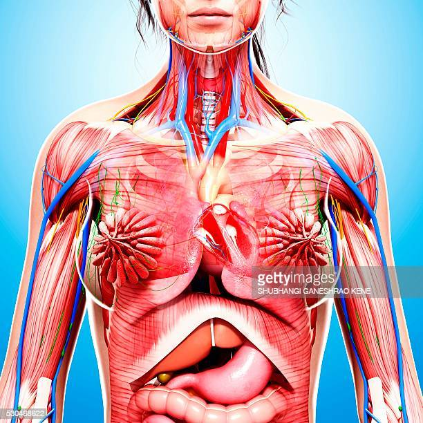 Anatomy Of The Chest Organs Stock Photos And Pictures