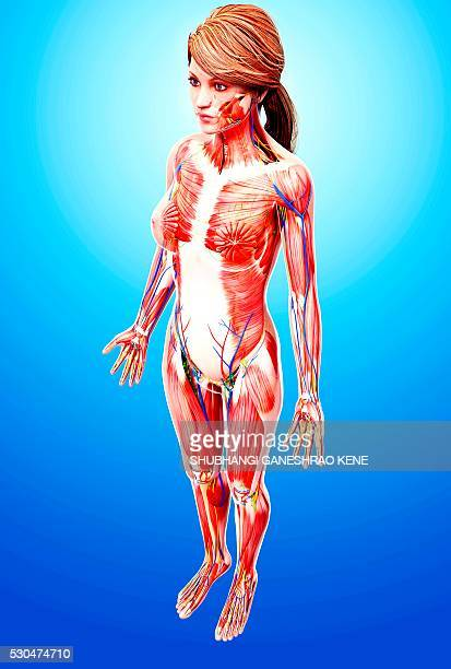 female anatomy, computer artwork. - vastus lateralis stock pictures, royalty-free photos & images