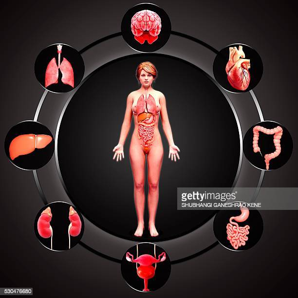 female anatomy, computer artwork. - female genital organs stock photos and pictures