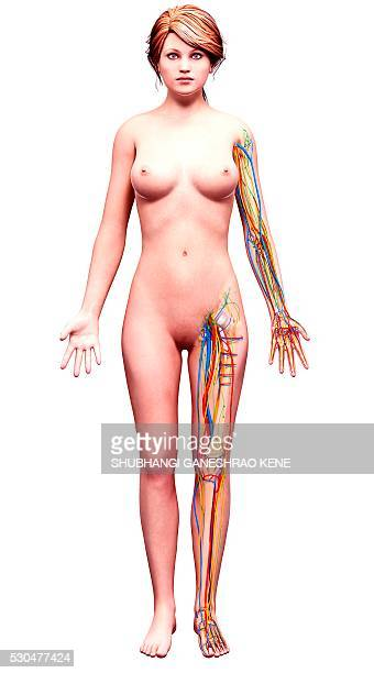 Female anatomy, computer artwork.