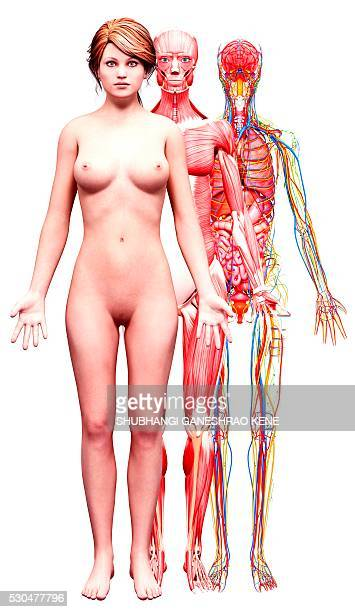 female anatomy, computer artwork. - cerebrum stock pictures, royalty-free photos & images