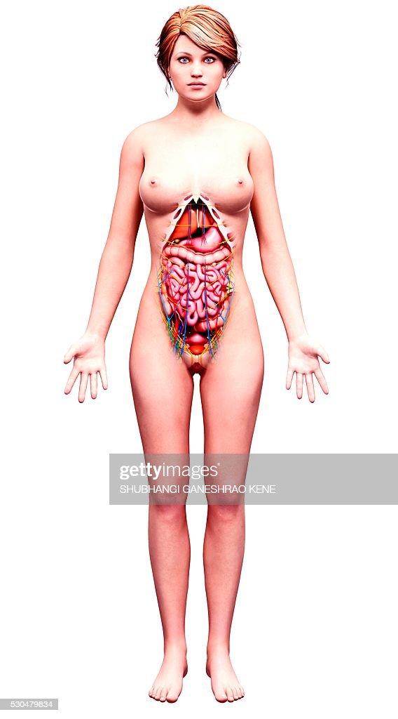 Female anatomy, computer artwork. : ストックフォト