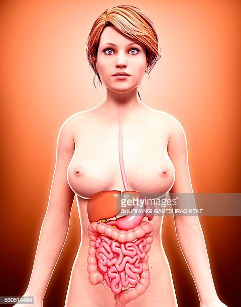 female anatomy, computer artwork. - gall bladder stock pictures, royalty-free photos & images