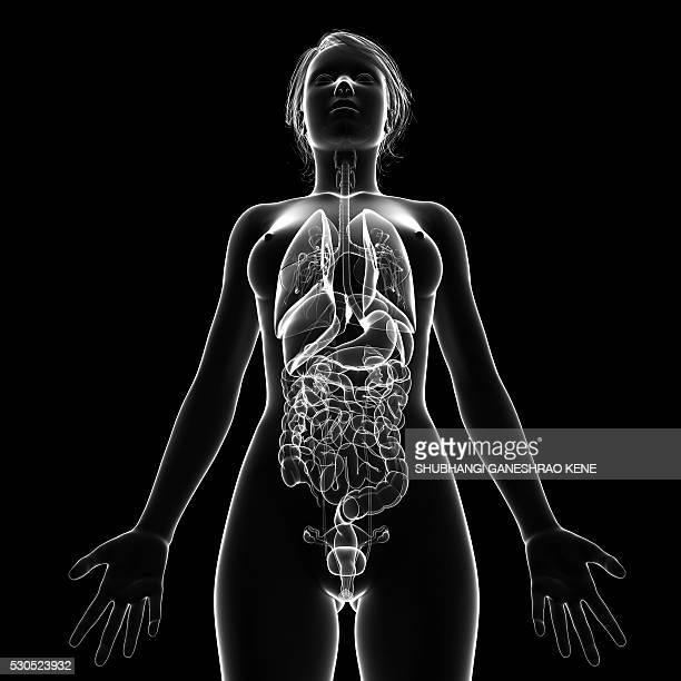 female anatomy, computer artwork. - partie du corps humain photos et images de collection