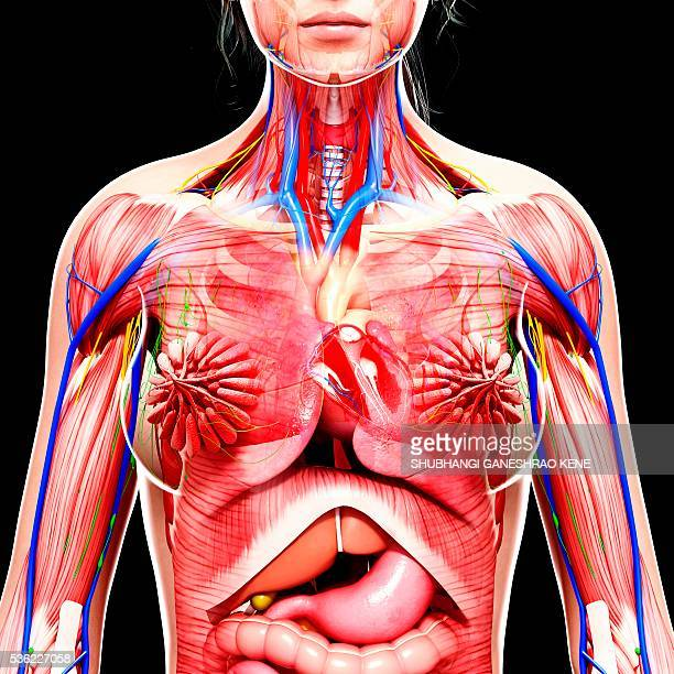 World U0026 39 S Best Anatomy Of The Chest Organs Stock Pictures