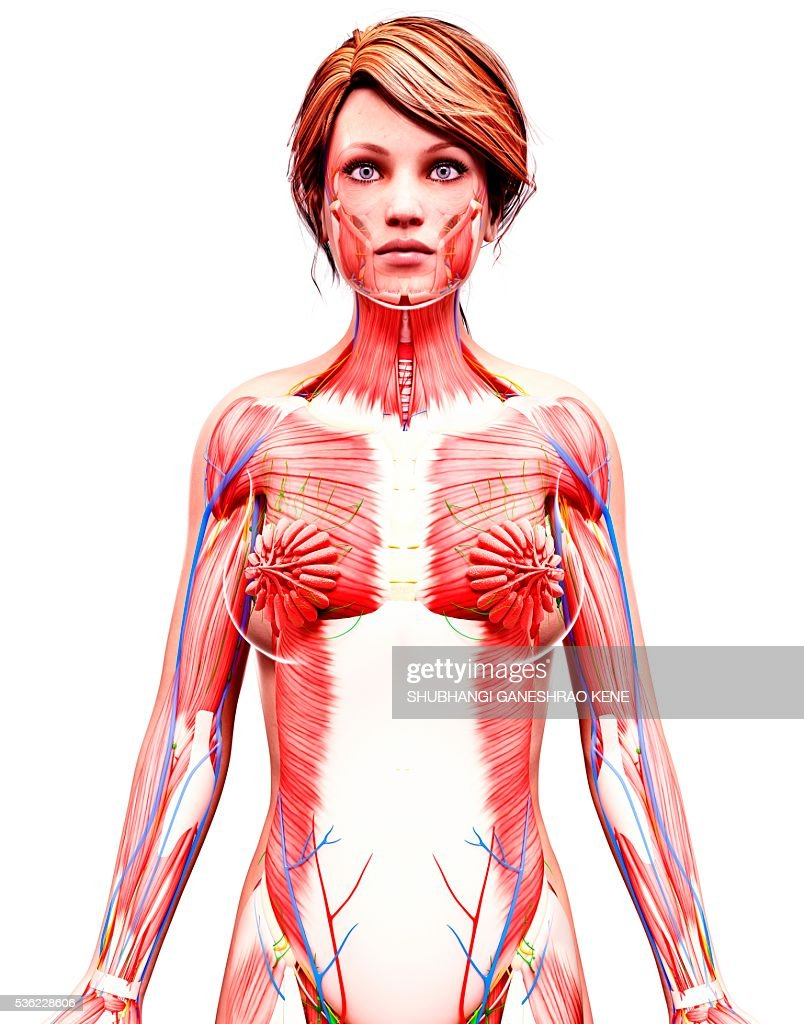 Female Anatomy Computer Artwork Stock Foto Getty Images