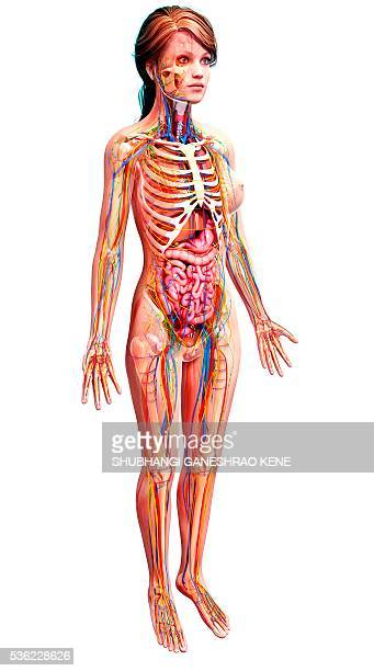 Female Anatomy Stock Photos and Pictures | Getty Images