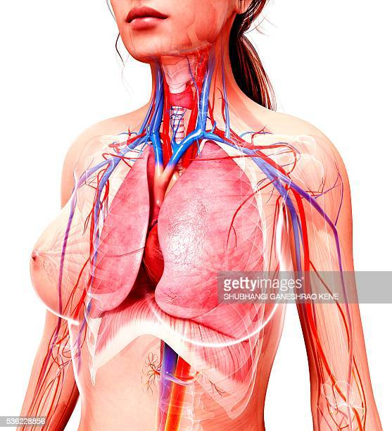 Jugular Vein Stock Photos And Pictures Getty Images