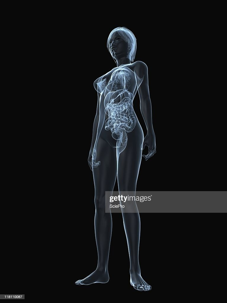 Female Anatomy Model Stock Photo Getty Images