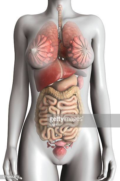 female anatomy model - human liver stock photos and pictures