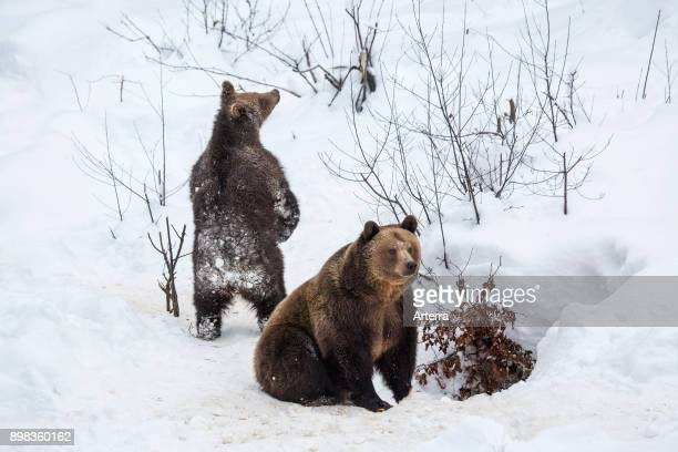 Female and 1-year-old brown bear cub leaving den in the snow in winter.