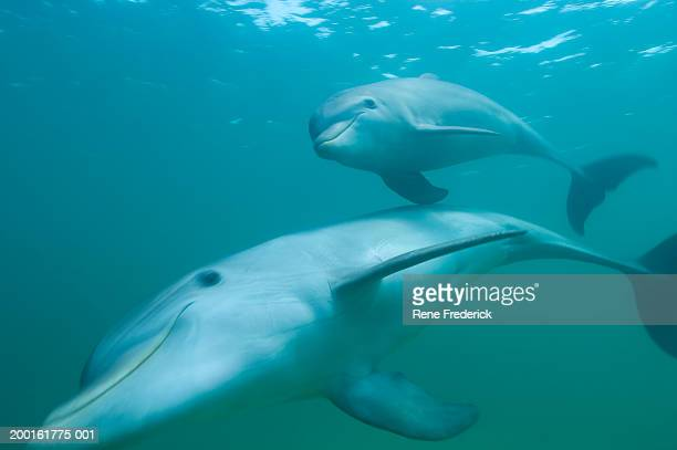Female and juvenile dolphins, underwater view