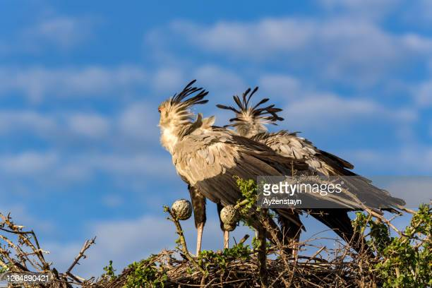 female and male secretary birds at top of the tree at the bird nest, shaking crowns at wind - animal behaviour stock pictures, royalty-free photos & images