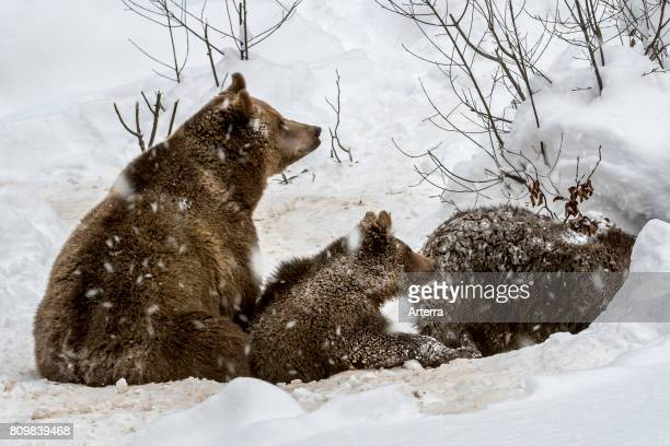 Female and two 1-year-old brown bear cubs entering den in the snow in winter.