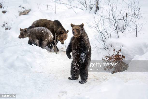 Female and two 1-year-old brown bear cubs in the snow in winter / spring.