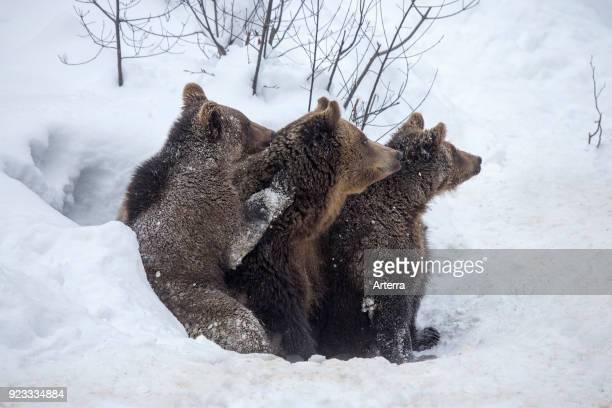 Female and two one-year-old brown bear cubs leaving den in the snow in early spring.